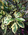 Ficus rubiginosa 'Variegata', Allan Gardens.jpg