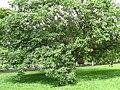 Ficuscitrifoliainteiro.JPG