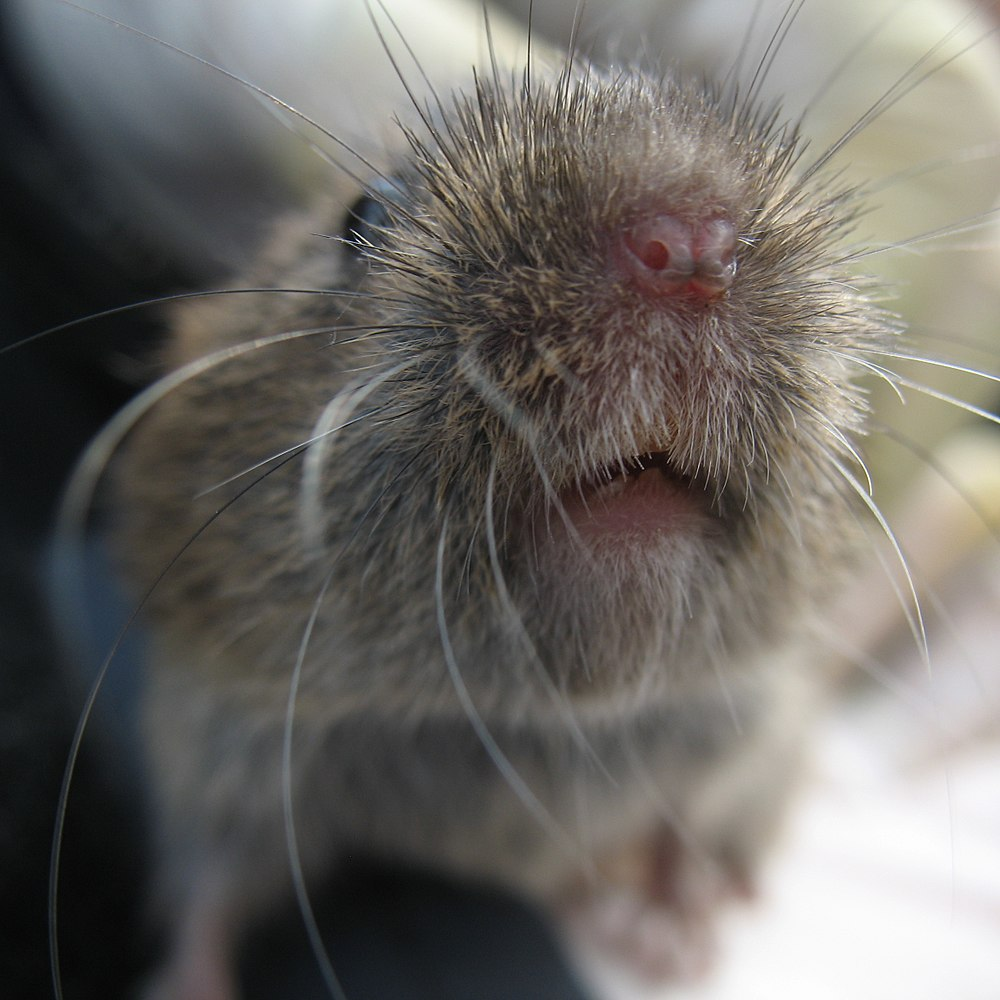 The average litter size of a Field vole is 4