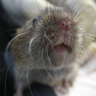 Field vole - Image: Field Vole by Bruce Mc Adam