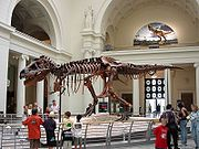 """""""Sue"""" the Tyrannosaurus, Field Museum of Natural History, Chicago, showing the forelimbs. The 'wishbone' is between the forelimbs."""
