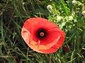 Field poppy - Papaver rhoeas - panoramio (4).jpg