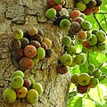 Fig Tree with Figs coming out of the trunk in Islamabad.jpg