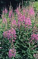 Fireweed (Rosebay Willowherb) (3746650705).jpg