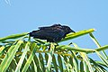 Fish Crow, Bayfront Park, Miami, Florida 1.jpg