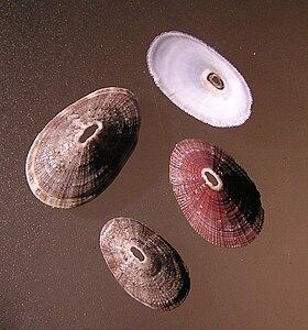Fissurella mutabilis 001.jpg