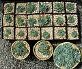 Flickr - brewbooks - Echeveria propagation - Sandy and Ted's Garden.jpg
