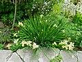 Flickr - brewbooks - Iris in Our Garden - May, 2008 (8).jpg