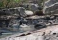 Flora and fauna of Chinnar WLS Kerala India (28).jpg