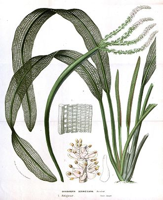 Aponogeton bernierianus - Image: Flore des serres v 14 073a