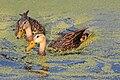 Florida Mottled Ducks.jpg