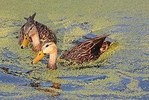 Mottled duck - Image: Florida Mottled Ducks