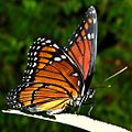 Florida Viceroy (4895223781).jpg