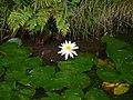 Flower - panoramio - Fumihiko Ueno.jpg