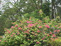 Flower blooming in Summer of 2014 at University of Dhaka.JPG