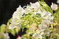 Flower of Bangladesh.jpg