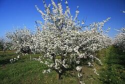 Glysiak, Creative Commons Attribution-Share Alike 3.0 Unported.  Cherry tree.