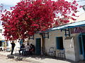 Flowering tree in Houmt Souk-sparklenose.jpg