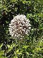 Flowers - Fiori (17843948193).jpg