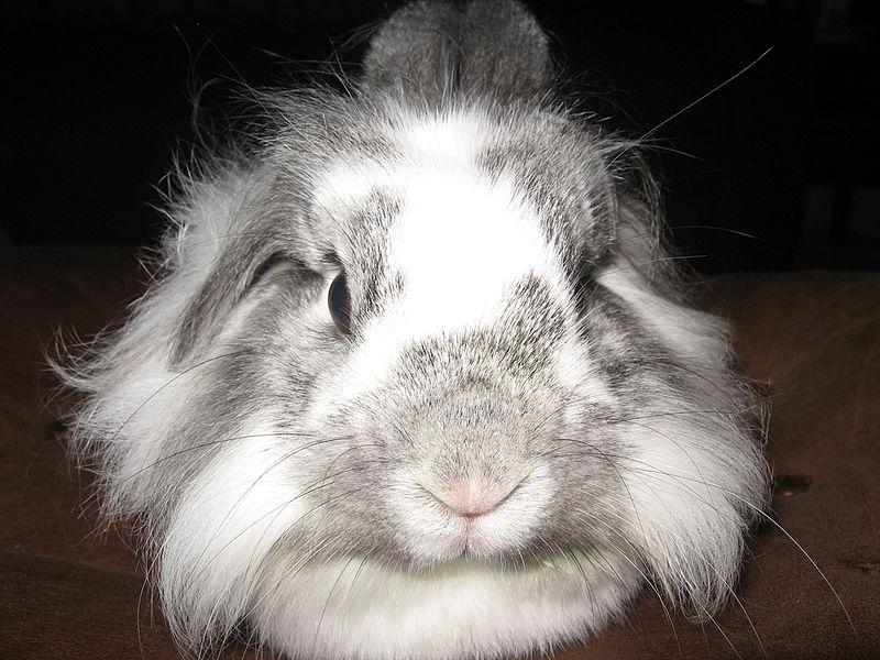 File:Fluffy Bunny.jpg