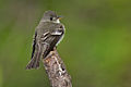 Flycatcher-102a.jpg