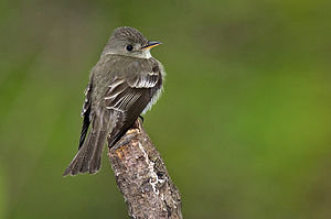 English: Acadian flycatcher in rain