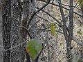 Forest Owlet Athene blewitti by Dr. Raju Kasambe DSCN5055 (7).jpg