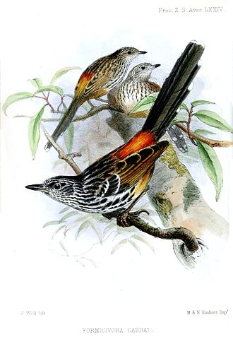 1854 in birding and ornithology -  Illustration of Long-tailed antbird published in Proceedings of the Zoological Society of London 1854