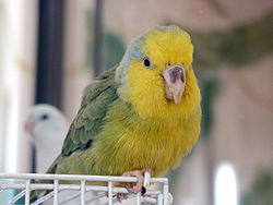 Forpus xanthops -pet on cage-8a.jpg