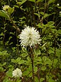 Fothergilla gardenii 002.jpg