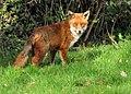 Fox (4514108817).jpg