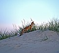 Fox on Pärnu beach.jpg