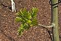 Fraxinus excelsior L. Frêne commun JdP.jpg
