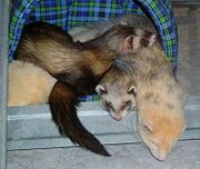 Ferrets sleeping in a pile