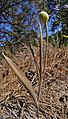 Fritillaria pudica immature seed pod.jpg
