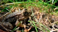 Frog in the grass 2 (6007082377).png