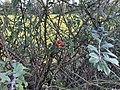 Fruits Églantinier Chemin Fasses - Saint-Cyr-sur-Menthon (FR01) - 2020-10-31 - 3.jpg
