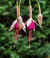 Fuchsia 'Mina Knudde'.jpg