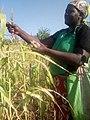 GUKETHA- Harvesting.jpg