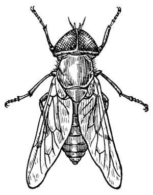 Line art drawing of a gadfly