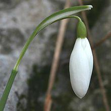 Galanthus nivalis ENBLA01.JPG
