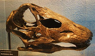 "Galeamopus - The skull of the holotype specimen of Galeamopus pabsti, SMA 00011, nicknamed ""Max"""