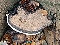 Ganoderma applanatum 105906237.jpg