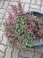 Gardenology.org-IMG 7908 qsbg11mar.jpg
