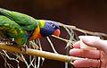 Gebirgslori-Zoo-Muenster-2013-01.jpg