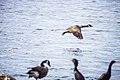 Geese (30016044018).jpg