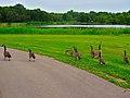 Geese in Warner Park - panoramio (4).jpg