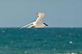 Gelochelidon nilotica San Diego Bay NWR 1.jpg