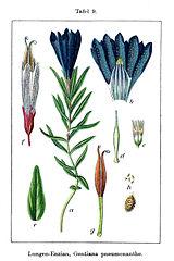 Horec pľúcny (Gentiana pneumonanthe)