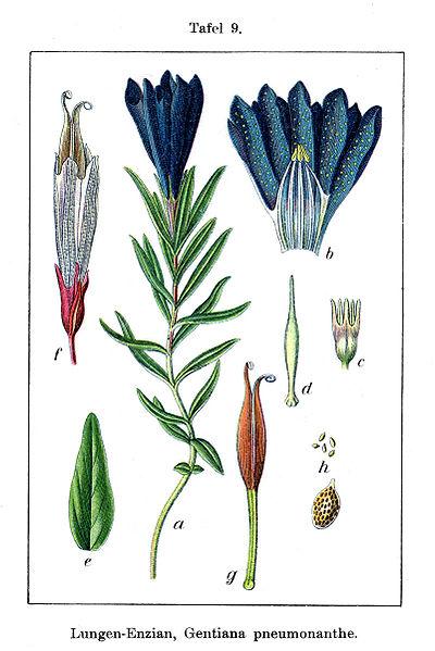 File:Gentiana pneumonanthe Sturm9.jpg